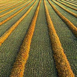 Canola-Field-Texture