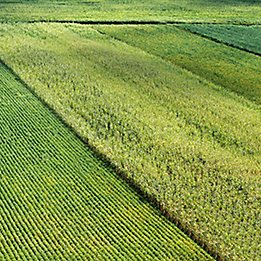 Corn-and-Soy-Field-Texture