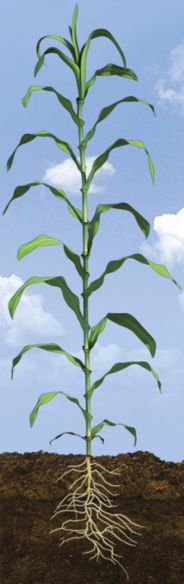 V18 Corn Growth Stage
