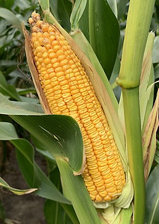 Corn_Image
