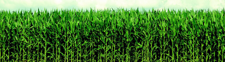 mısır tarlası yeşil mobil
