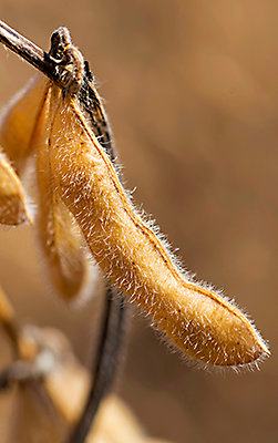Soybean ready for harvest