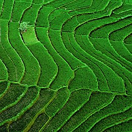 Green-Rice-Field-Texture