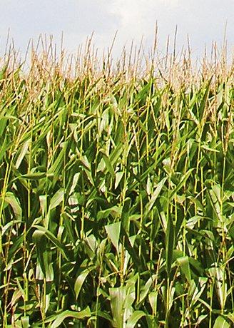 Maiz Pioneer Verde