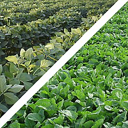 Soybeans and canola plants
