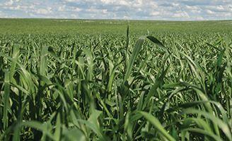 Barley crop with clouds