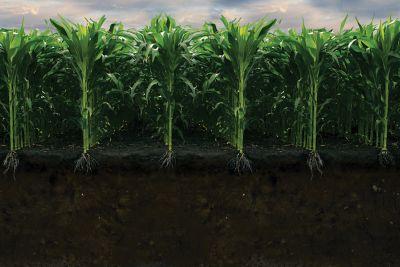 Nitrogen in corn roots
