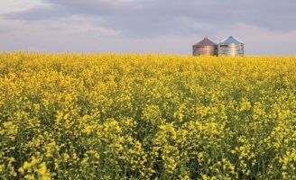 Flowering canola and bins