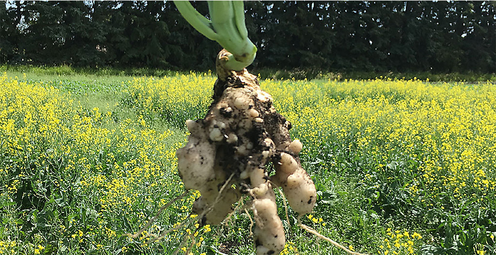 protect canola crops from clubroot