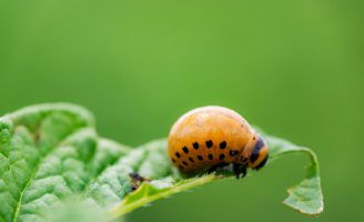 colorado potato beetle on a leaf