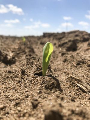 Photo - Corn Seedling - Closeup