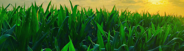 Corn Solution Hero Image