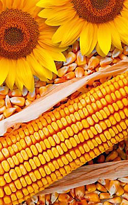 семена слънчоглед и царевица