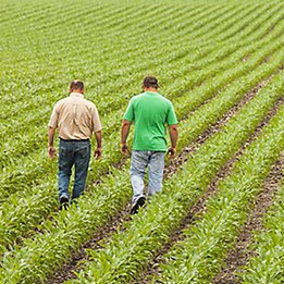 Image of two men walking in a young corn field.