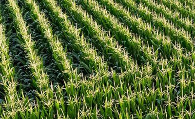 Rows of corn in a field