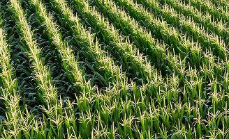 Rows of corn in field