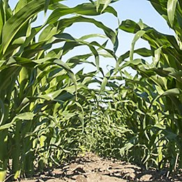 Keystone® LA herbicide for corn