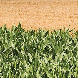 Corn and wheat fields