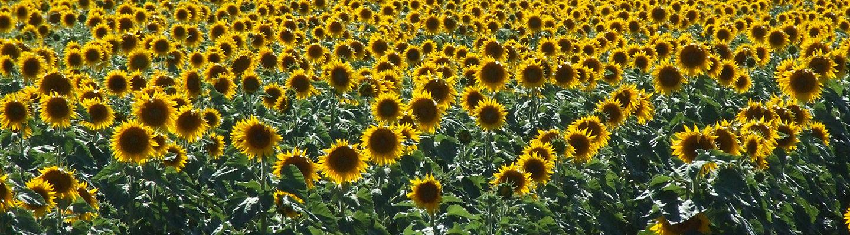 Corteva Sonnenblumen