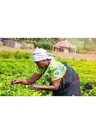 Female farmer picks tea leaves profile