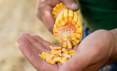 Closeup of hand holding an ear of corn and loose kernels