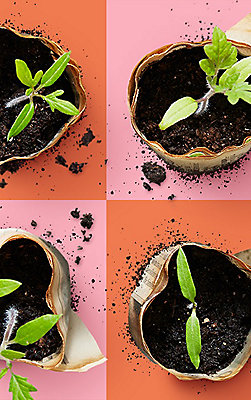 Four small seedlings in individual starter pots