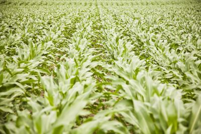 Corn field in June