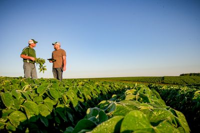 Photo - Midseason Soybean Field