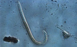 Nematode under microscope