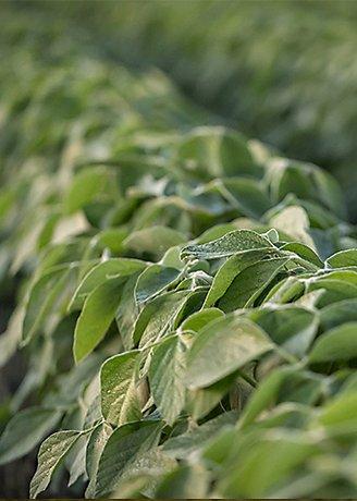 Imgen en primer plano de un campo de soja