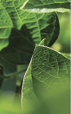 Imagen Desktop Hoja de soja en foco