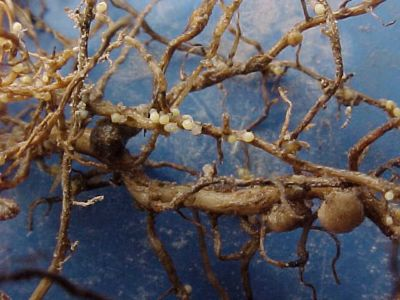 Photo - Soybean Cyst Nematode on Soybean Root