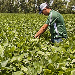 Image of man in field checking soybean field.