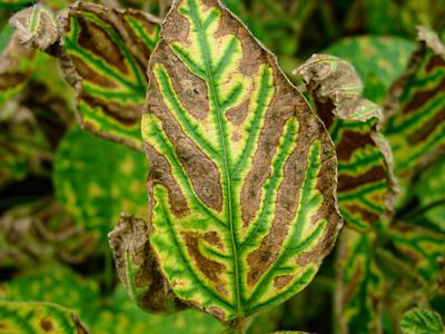 Photo - Sudden Death Syndrome Symptoms on Leaf