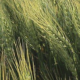 Image of wheat field