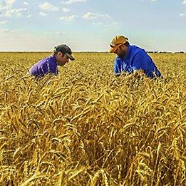 Image of farmers in wheat field