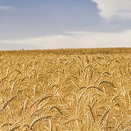 Image of combine in wheat field