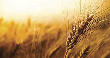 Ripe winter wheat