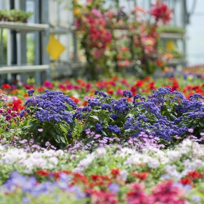 Colorful annual flowers in a greenhouse