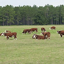 Image of cattle in pasture with trees in the background