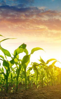 corn growing during sunrise