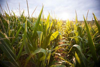 Corn rows in sun