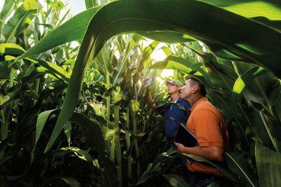 Photo - studying cornstalks in field