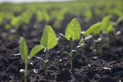 Early soybean