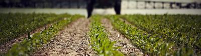 Early corn field
