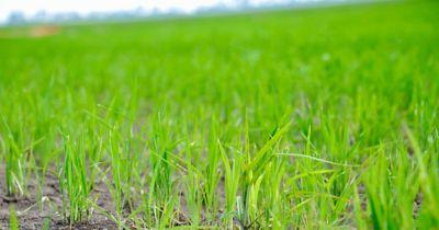 clean rice field
