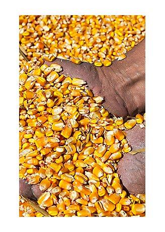 holding corn grains