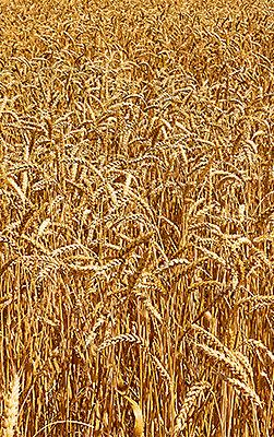 Поле зрелой пшеницы.
