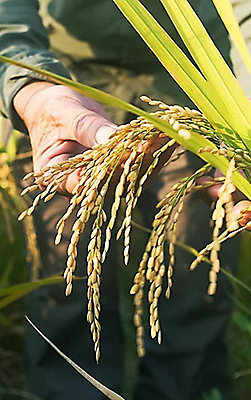 Man's hands holding crops