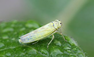 green leafhopper on a leaf